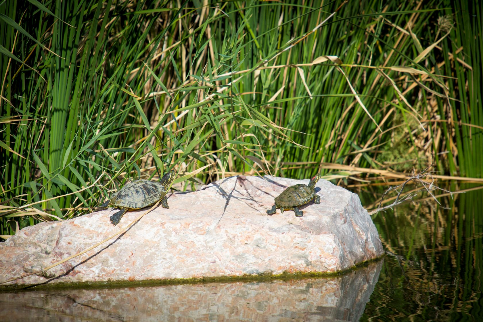 Turtles walk on a rock in the water of the Wetlands Park.